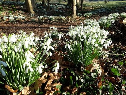 Snowdrops at Holme Pierrepont Hall
